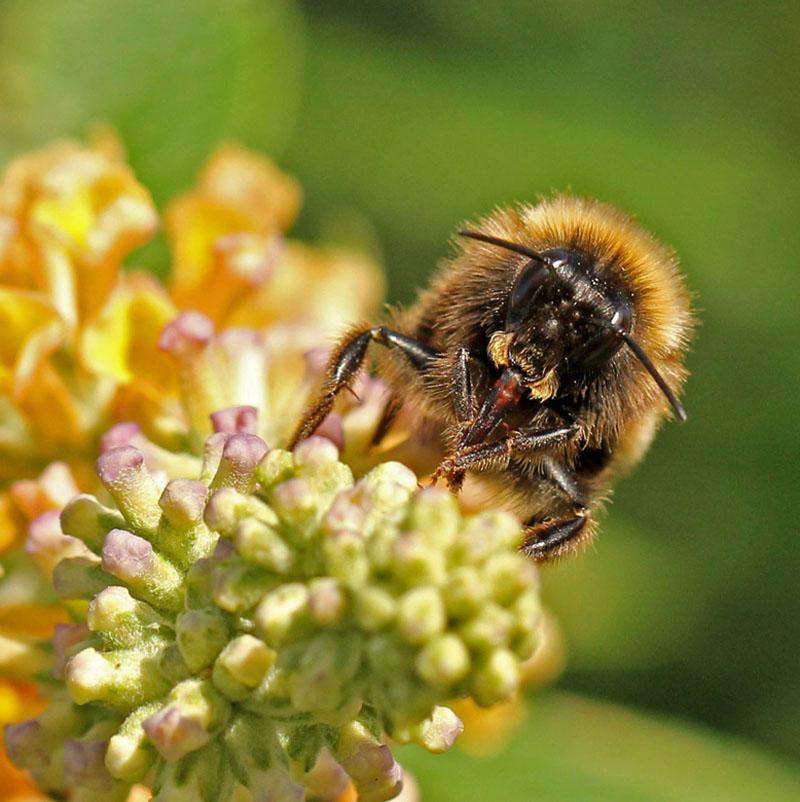 A bee feeding 9197