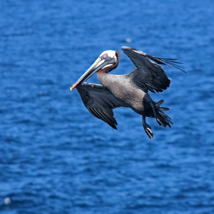 Brown Pelican_5852