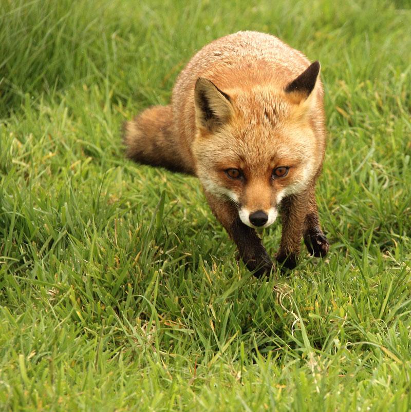 Fox_3773