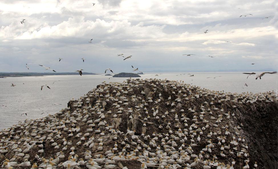 Gannets on Bass Rock _2946