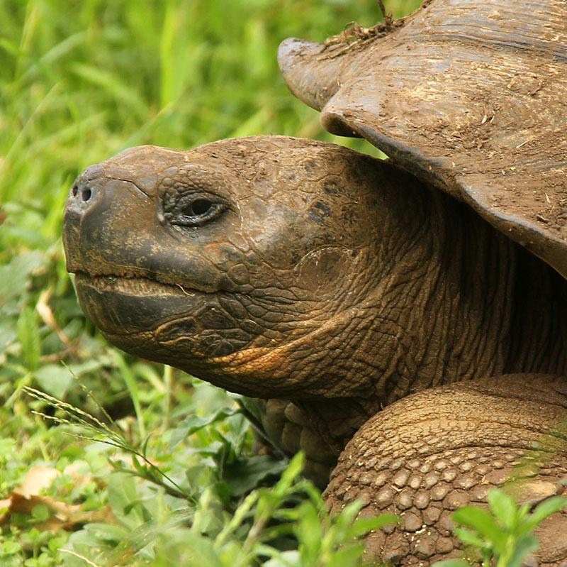Giant tortoise_5460