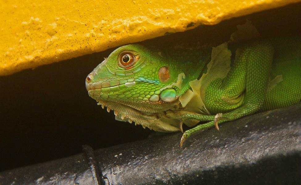 Green Iguana hiding  _8148