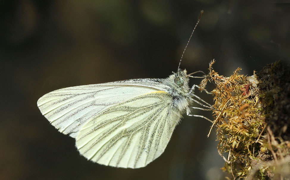 Green veined white butterfly072