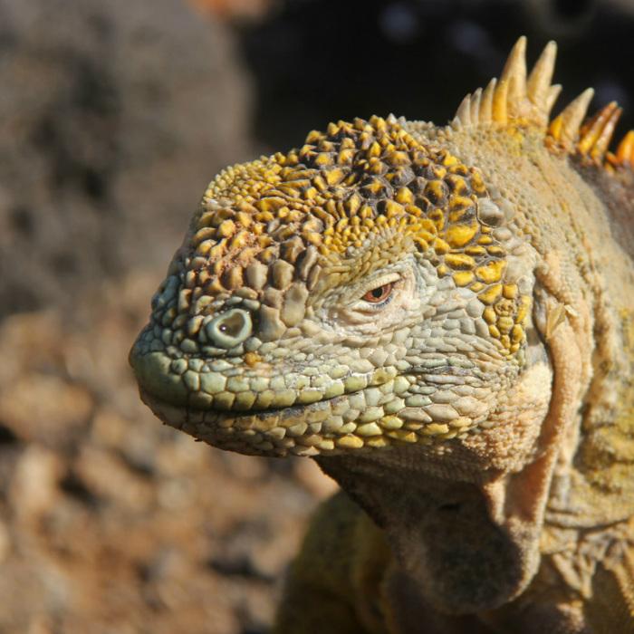 Iguana_6200 1