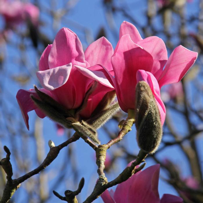 Magnolia _1288