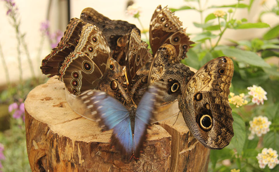 Owl and Blue Morpho Butterflies 019