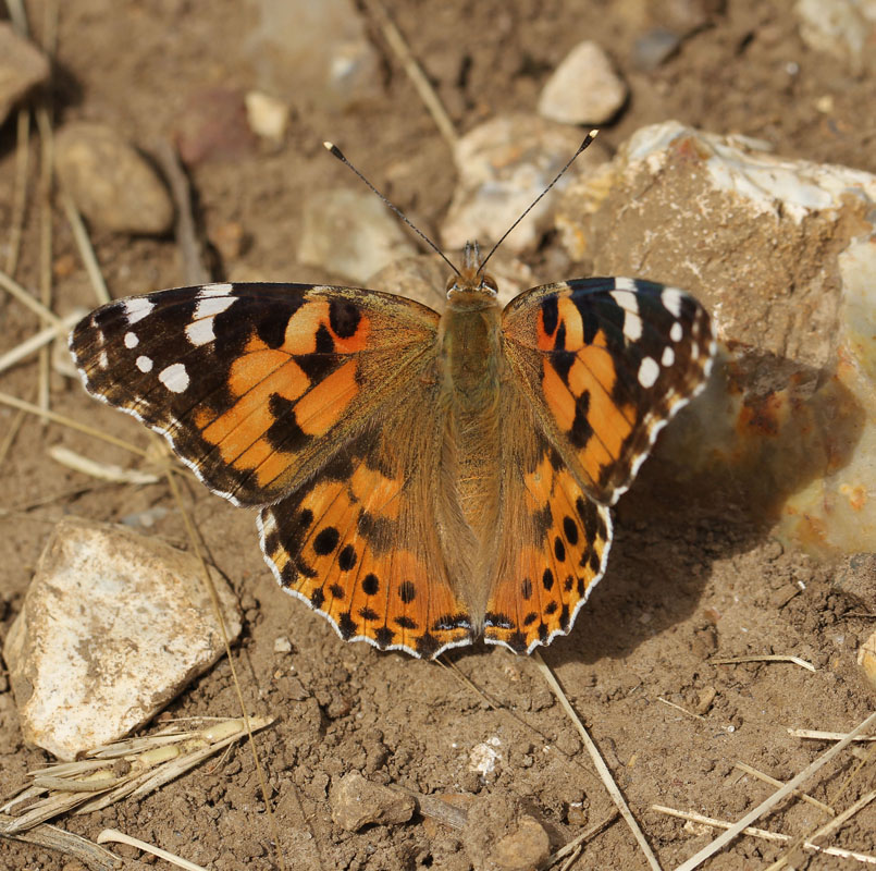 Painted Lady Codicote_7444