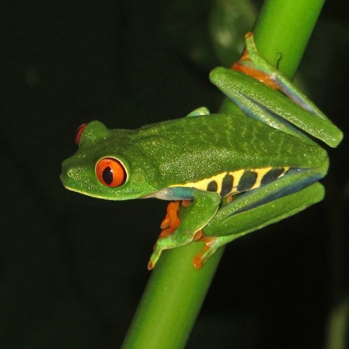 Red eyed tree frog_1710