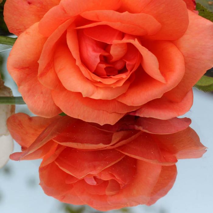 Rose Doubling up_ Juliet Morton_C
