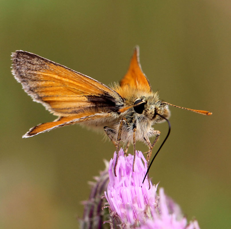 Small skipper_7056
