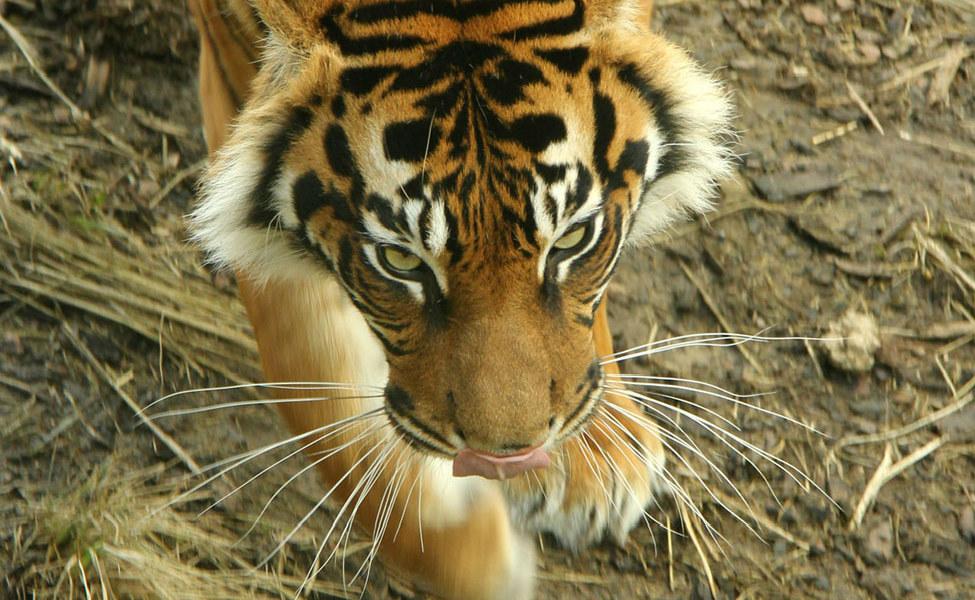 Tiger intent_2288