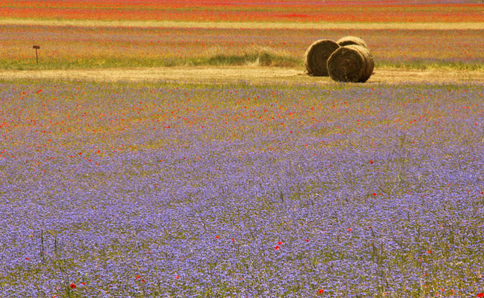 flower fields Marche 241