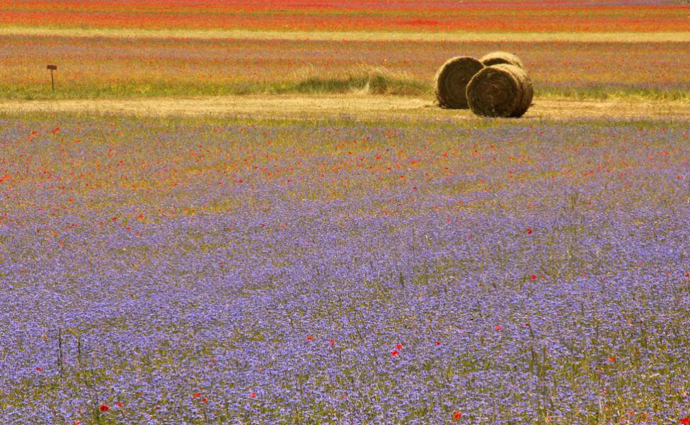 flower fields Marche 241